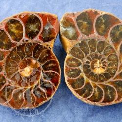 Ammoniten Paare Madagaskar gross