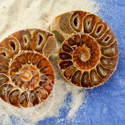 Ammonites Pair from Madagaskar ca. 45-60mm