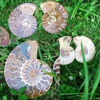 Ammoniten Paare Madagaskar gross 10-20cm Preis p. kg
