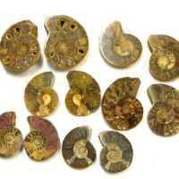 Ammonites 10 Pairs from Madagaskar ca. 45-60mm