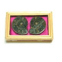 Ammoniten Paar in Bambus Schachtel