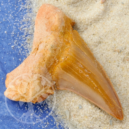 Hai-Fisch-Zahn klein ca. 30-35mm