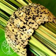 Dalmatiner Jaspis Armband sehr groß 35mm breit
