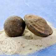 Mooqui Marbles - Lebende Steine (Eisenoolithe) ca. 20-30mm